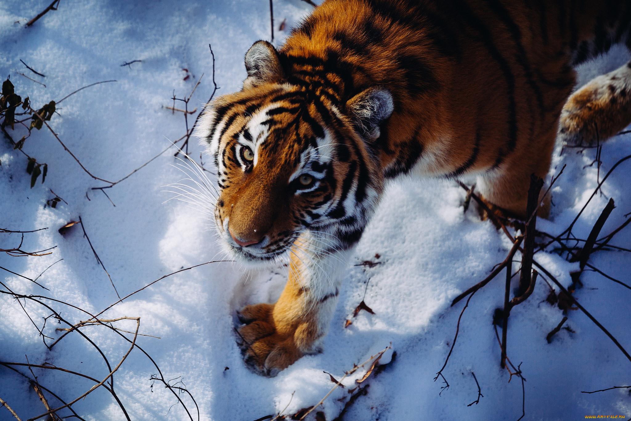 картинка тигренок в снегу